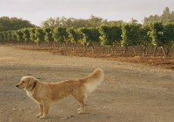 dog friendly wineries in napa